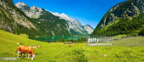 berglandschaft, bavarian idyll, cows graze on green meadow at koenigssee under blue sky, berchtesgaden, bavaria, germany - idyllic stock-fotos und bilder