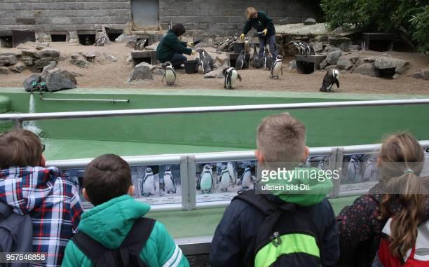 Bergzo Halle HumboldtPinguin Spheniscus humboldti Humboldtpinguin HumboldtPinguine Humboldtpinguine Ansicht Seit dem 2732017 schlüpften auf der...