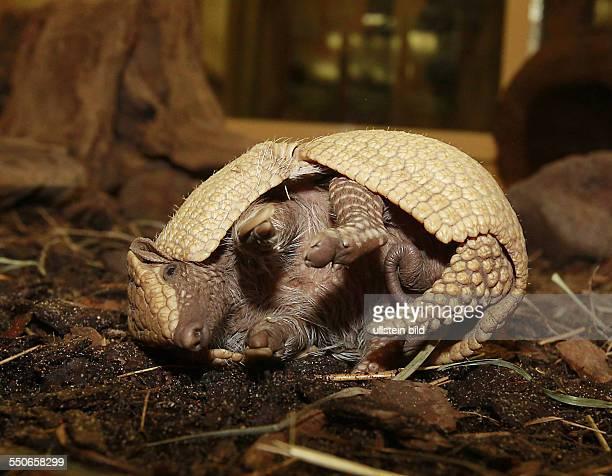 Bergzoo Halle Nachwuchs bei den Dreibindengürteltieren auch Südliche Kugelgürteltiere genannt Das Kugelgürteltier ist das offizielle Maskottchen der...