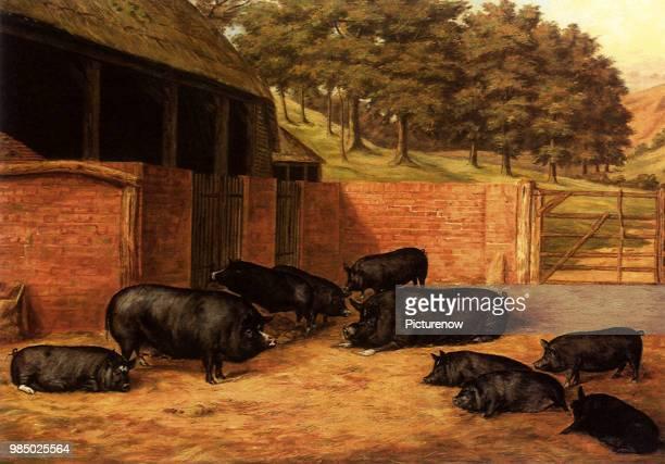 Berkshire Pigs, Brooks, Henry Jamyn.