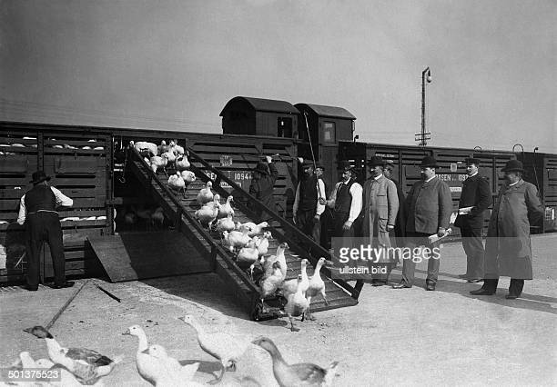 unloading of geese from goods wagons undated probably around 1910