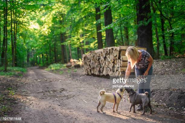 Dog owner Angela Kaiser gives water to her two old German pugs Emma and Konrad in a forest near Hermsdorf With a time of less than six seconds Pug...