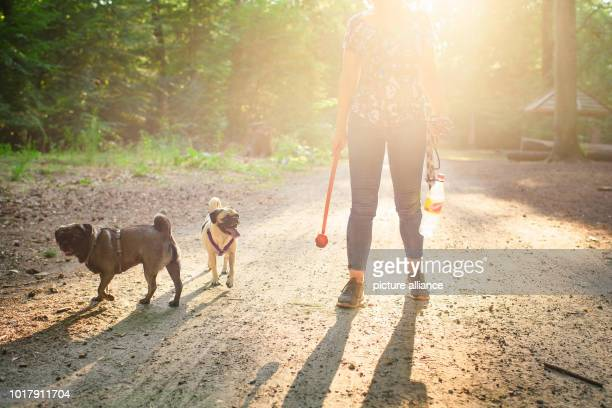 Dog owner Angela Kaiser plays in a forest near Hermsdorf with her two old German pugs Konrad and Emma with a ball With a time of less than six...