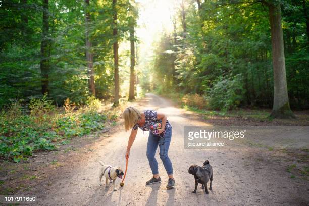 Dog owner Angela Kaiser plays with her two old German pugs Emma and Konrad with a ball in a forest near Hermsdorf With a time of less than six...