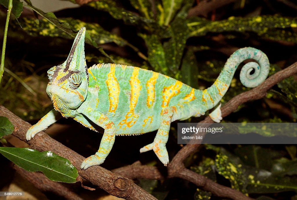 Berlin Friedrichsfelde Veiled Chameleon At Tierpark Terrarium News Photo Getty Images