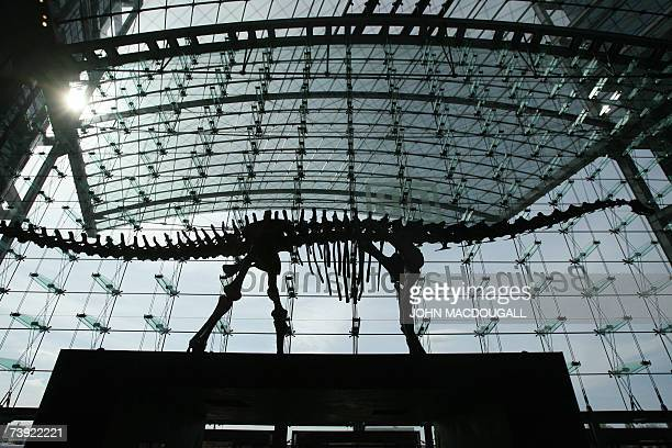 A 27meterlong Diplodocus dinosaur skeleton on display at Berlin's central railway station is silhouetted in the station's main lobby 19 April 2007...
