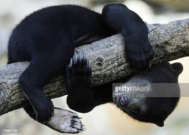 """Little sun bear """"Ernst"""" sleeps on a branch 12 April 2007 in his enclosure at the Zoologischer Garten zoo in Berlin. """"Ernst"""" lives next to the..."""