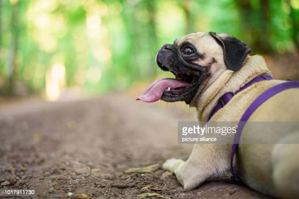 The four and a half year old German pug Emma lies during a walk with her owner on a path in a forest With a time of less than six seconds Pug Emma...