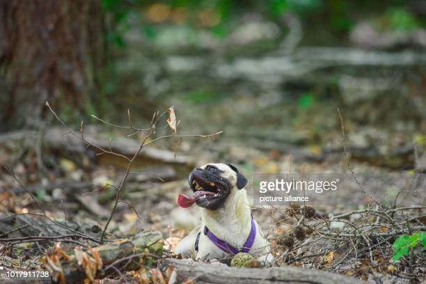 The four and a half year old German pug Emma lies during a walk with her owner in the undergrowth of a forest With a time of less than six seconds...