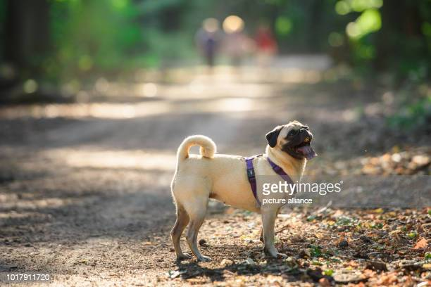 The four and a half year old German pug Emma stands with her owner on a path in a forest during a walk With a time of less than six seconds Pug Emma...
