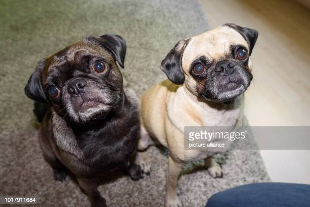 The two old German boobs Konrad and Emma sit in their owner's apartment With a time of less than six seconds Pug Emma was the fastest runner over a...