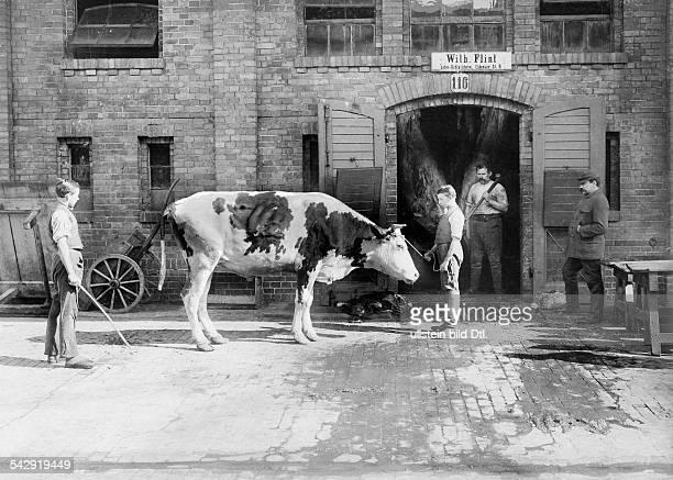 Berlin Zentralviehhof abattoir in Friedrichshain ox before slaughter 1897 Photographer Waldemar Titzenthaler