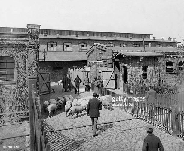Berlin 'Zentralviehhof' pigs at slaughterhouse Friedrichshain 1897 Photographer Waldemar Titzenthaler