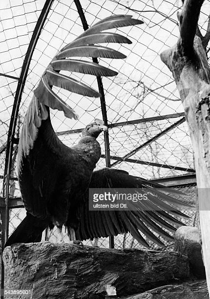 Berlin Zoological Garden Condor with spread wings ca 1937 Photographer Friedrich Seidenstuecker Published by 'BZ' Vintage property of ullstein bild