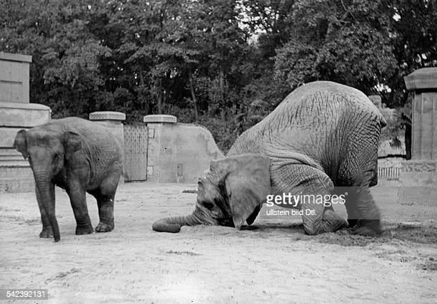 Berlin Zoological Garden Elephants an animal lying on the knees about 1954 Photographer Friedrich Seidenstuecker Vintage property of ullstein bild