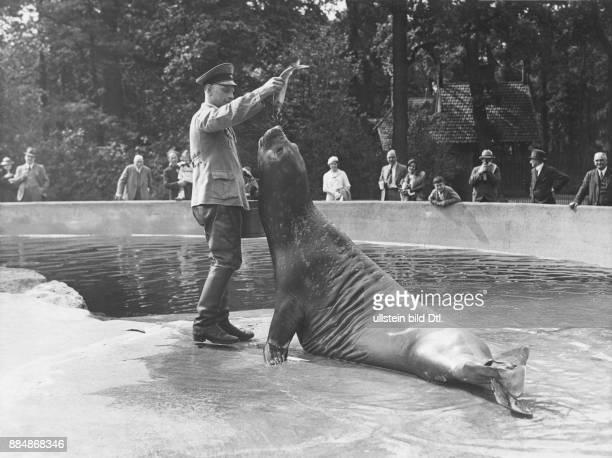 Berliner Zoo: Fütterung der Seeelefanten durch einen Tierpfleger; Originaltext: Heute vormittag traf das See-Elefanten-Fräulein, dass bisher im Zoo...