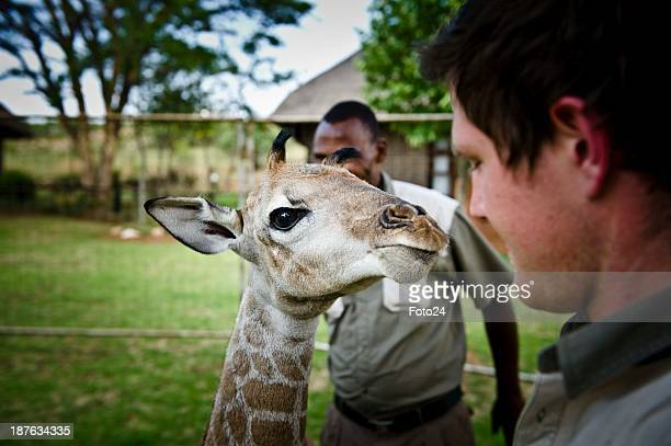 Bernard Toonhaar Wayne Muller and 'Baby X' at the Krugersdorp Game Reserve on November 6 in Krugersdorp South Africa The 5dayold calf was born...