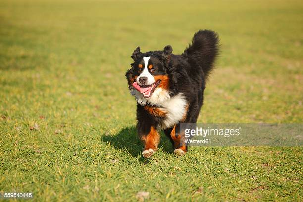Bernese cattle dog running on a meadow