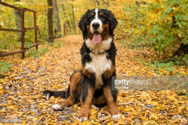 Bernese Mountain Dog, Autumn forest, Transylvania, Romania