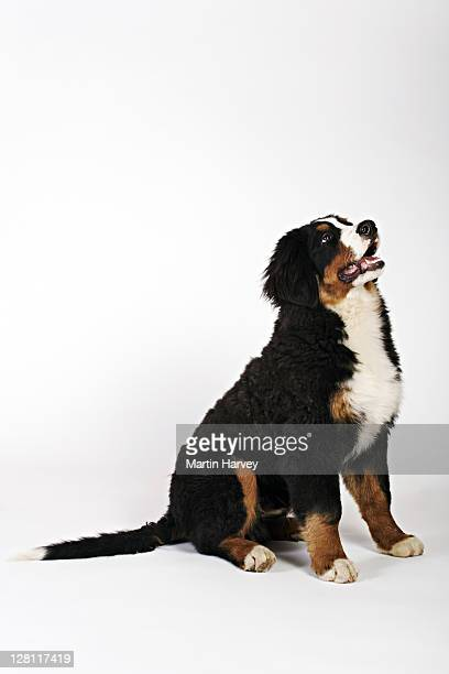 Bernese Mountain Dog / Berner Sennenhund is a versatile breed of farm dog originating in Switzerland. These good natured dogs have beautiful weather-resistant tri-coloured coats. Studio shot against white background