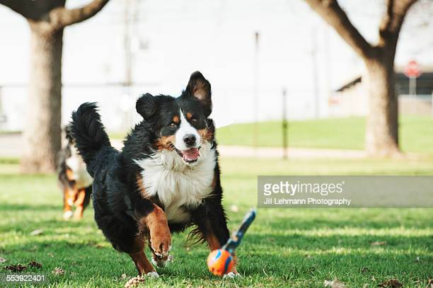 A Bernese Mountain Dog chases a ball