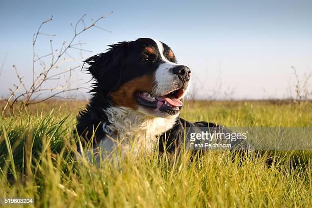 Bernese Mountain Dog enjoying sunset