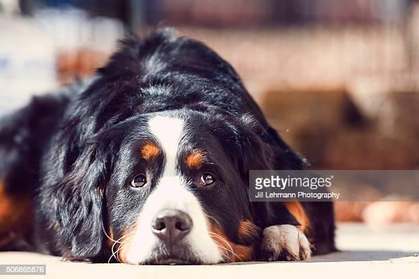 A Bernese Mountain Dog enjoys Spring