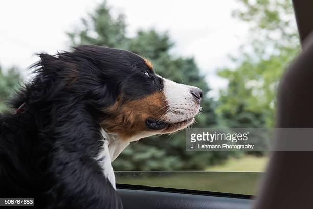 A Bernese Mountain Dog in a Car