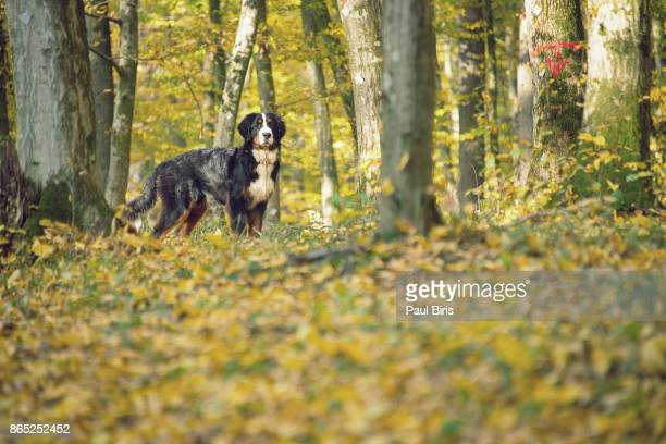 Bernese Mountain Dog in autumnal scenery, Transylvania, Romania