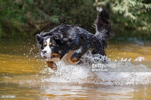Bernese Mountain Dog in low water!