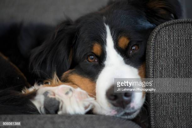 A Bernese Mountain Dog Looks Seriously At Camera While on Couch