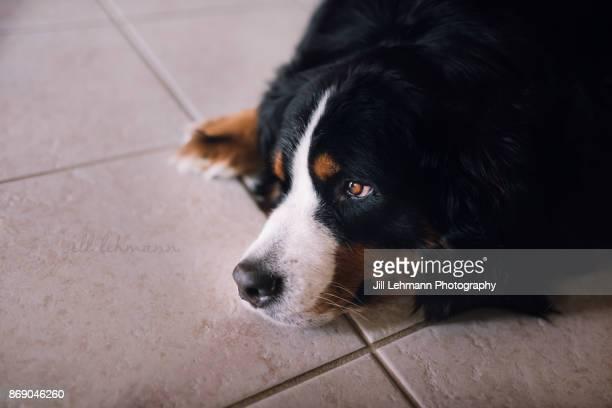 a bernese mountain dog lounges and looks grumpy at home - san bernardo fotografías e imágenes de stock