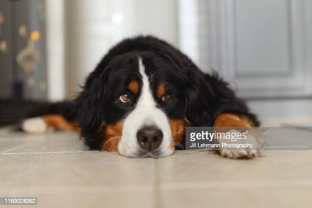 a bernese mountain dog lounges at home in the kitchen - sulking stock pictures, royalty-free photos & images