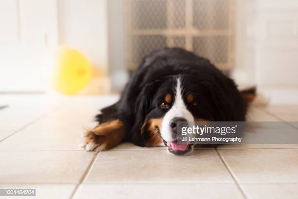A Bernese Mountain Dog Lounges with Her Tongue Sticking Out
