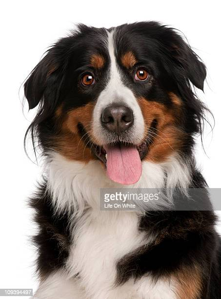 Bernese Mountain Dog (5 years old)