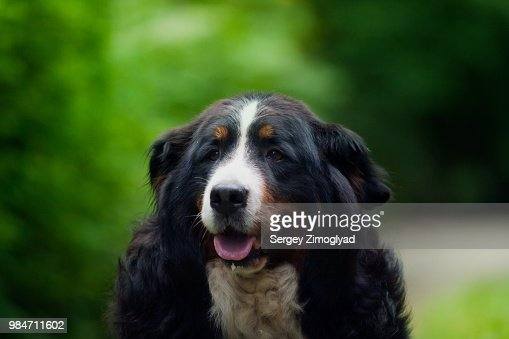 Bernese Mountain Dog High Res Stock Photo Getty Images