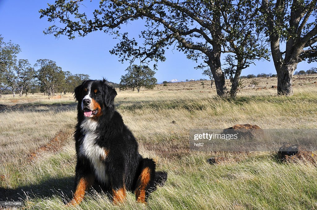 Bernese Mountain Dog Plays Among The Oaks Of Northern