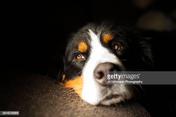 Bernese mountain dog pouts