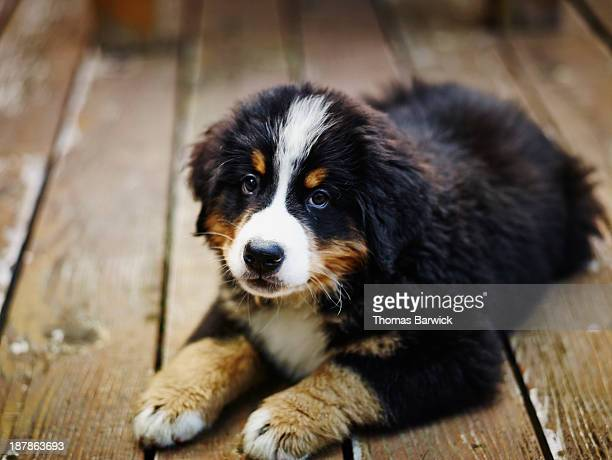 Bernese Mountain Dog puppy lying on deck