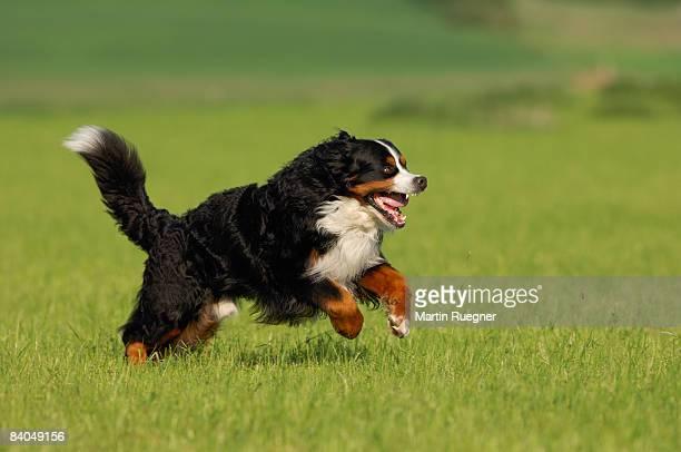 Bernese Mountain Dog running across meadow.