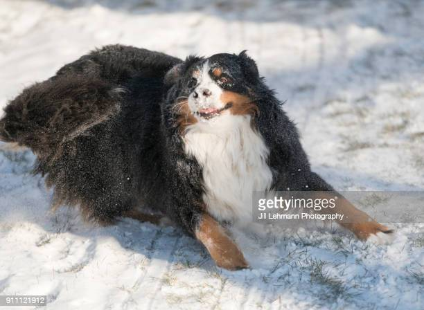 A Bernese Mountain Dog Runs In a Fresh Coat of Snow in Iowa