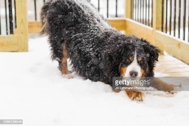 a bernese mountain dog sits by house in snowfall with her tongue out - san bernardo fotografías e imágenes de stock
