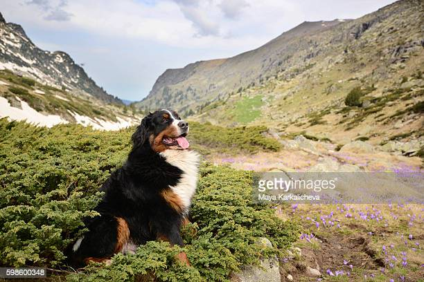 Bernese Mountain Dog standing gracefully near some flowers