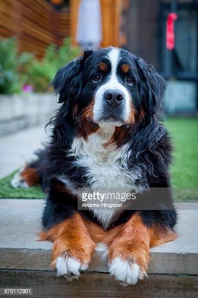 Bernese mountain dog winston