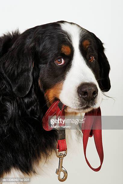 Bernese Mountain Dog (Berner Sennenhund) with leash in mouth, looking at camera
