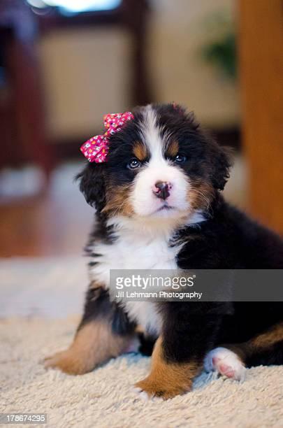 A Bernese Puppy Sports a Bow
