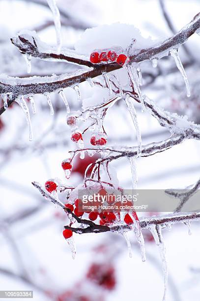 Berries and Branches Covered in Ice