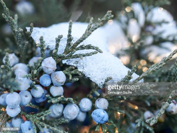 Berries And Snow