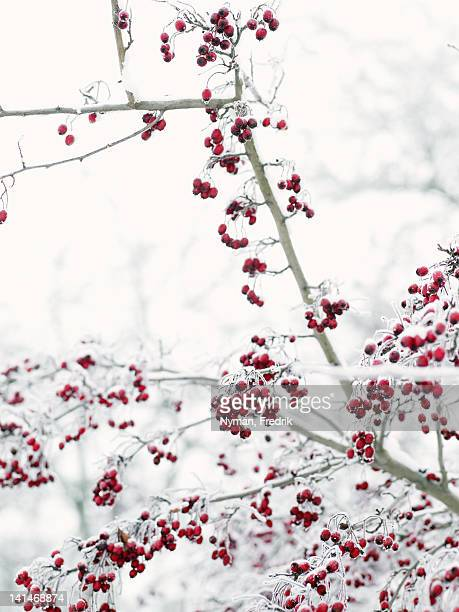 Berries covered with ice