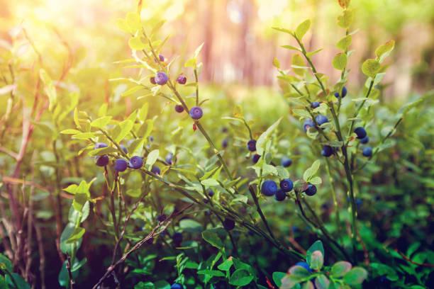 森林中的漿果 - 藍莓 個照片及圖片檔